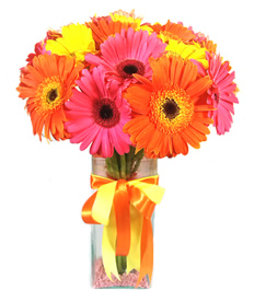 Gerberas Happiness